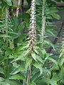 Digitalis parviflora (14225530348).jpg