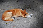 180px-Dingo-australian_zoo.jpg