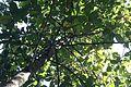 Dipterocarpus hispidus.jpg