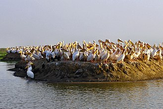 Djoudj National Bird Sanctuary - Pelicans on an island in the park