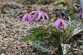 Dogtooth Violet - Erythronium dens-canis (33834096965).jpg