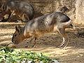 Dolichotis patagonum.002 - Faunia.JPG