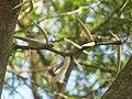 Domaine du Rayol - Acacia karoo (spines).jpg