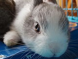 Domestic-rabbit-FourWeeksOld.jpg