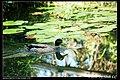 Domesticated ducks (5273800549).jpg