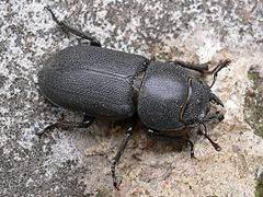 Dorcus parallelipipedus 20050704 517 part.jpg