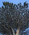 Drago milenario, Icod de los Vinos, Tenerife, España, 2012-12-13, DD 09.jpg