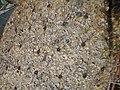 Dry Opuntia.jpg