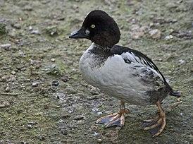 Duck (7465070336).jpg