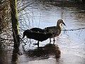 Ducks, Dunbreen - geograph.org.uk - 1703430.jpg