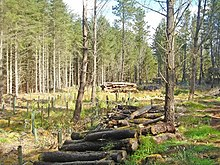 Dunnet Forest. A coniferous area containing some log piles due to restructuring - replacing the conifers with broadleaves