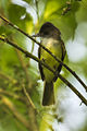 Dusky-capped Flycatcher - Sarapiqui - Costa Rica MG 0244 (26423514880).jpg