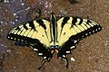 Eastern Tiger Swallowtail - Papilio glaucus, Leesylvania State Park, Woodbridge, Virginia - 16678994160.jpg