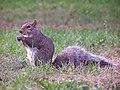 Eating Squirrel... (37388867).jpg