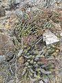 Echinocereus pentalophus (5692760462).jpg