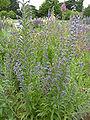 Echium vulgare 'Viper's Bugloss' (Boraginaceae) plant.JPG