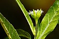 Eclipta prostrata - Flickr - aspidoscelis.jpg