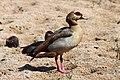 Egyptian Goose, Kruger NP (10900895224).jpg