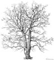 Eiche im Winter einzeln, Lehrbuch der Botanik (Schmeil 1911, Seite 10, HG weiß, ausgeschnitten).png