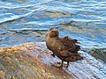 Ejder Common Eider (20342542372).jpg