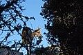 El Torcal de Antequera - 009 - Wild goat.jpg