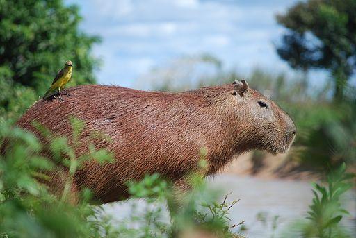 mamíferos del amazonas, roedores, capibara