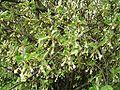 Elaeagnus multiflora Blüte.jpg