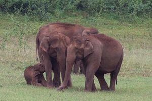 Wild Indian Elephants in Periyar National Park