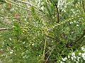 Epacris rhombifolia mature foliage.jpg