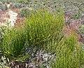 Ephedra viridis 1.jpg