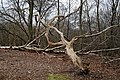 Epping Forest High Beach Essex England - Fallen rotting tree 1.jpg