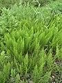 Equisetum arvense 117578477.jpg