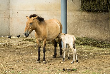 Лошадь Пржевальского в Московском зоопарке