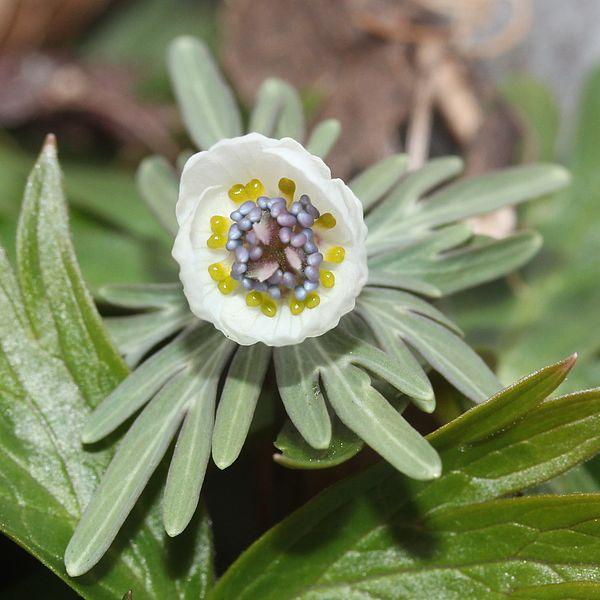 File:Eranthis pinnatifida (young flower).JPG