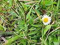 Erigeron karvinskianus (Flower) 2.jpg