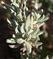 Eriogonum wrightii var wrightii 5.jpg
