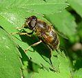 Eristalis pertinax - Flickr - gailhampshire (4).jpg