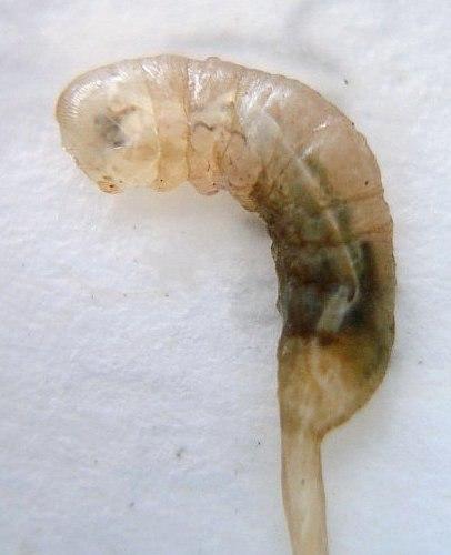 Eristalis tenax larva close