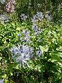 Eryngium alpinum-Jardin d'altitude du Haut-Chitelet (1).jpg