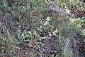Eryngium duriaei-truchillas.jpg
