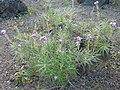Erysimum caboverdeanum (Jardín Botánico Canario Viera y Clavijo).jpg