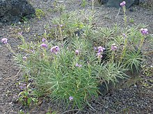 Erysimum caboverdeanum at the botanical gardens in Las Palmas de Gran Canaria.