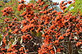 Erythrina corallodendrum at Giza Zoo by Hatem Moushir 1.JPG