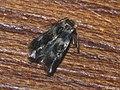 Etainia sericopeza - Norway maple seedminer (41010370142).jpg