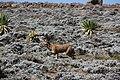 Ethiopian Wolf (15687983794).jpg
