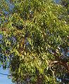 Eucalyptus brownii foliage 2.jpg