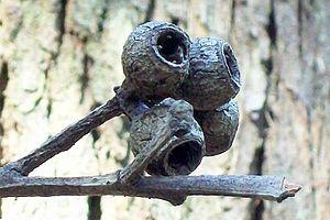 Eucalyptus pilularis - Blackbutt gumnuts