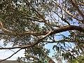 Eucalyptus sieberi - upper branch bark.jpg