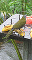 Eucometis penicillata, the Grey-headed Tanager (8991103045).jpg