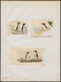 Eudyptes catarractes - 1700-1880 - Print - Iconographia Zoologica - Special Collections University of Amsterdam - UBA01 IZ17800219.tif